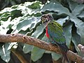 Blue Headed parrot (7987440234).jpg