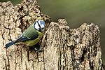 Blue Tit - Lackford Lakes (27161375180).jpg