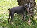 Blue and rust miniature pinscher.jpg