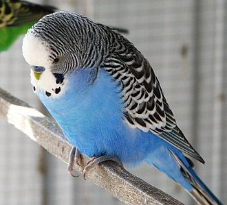 Plumage - Axanthic budgerigar