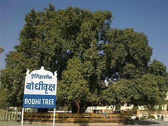 Deekshabhoomi - The Bodhi Tree at Deekshabhoomi