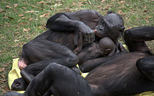 Femelle bonobo allongée, embrassant son bébé