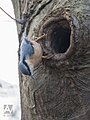 Boomklever - nuthatch (15840694324).jpg