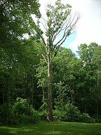 Boyd Big Tree.jpg