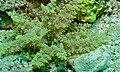 Branching Anemone (Actinodendron glomeratum) (8502583069).jpg