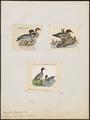 Branta jubata - 1700-1880 - Print - Iconographia Zoologica - Special Collections University of Amsterdam - UBA01 IZ17600167.tif