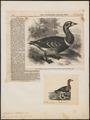 Branta ruficollis - 1858 - Print - Iconographia Zoologica - Special Collections University of Amsterdam - UBA01 IZ17600189.tif