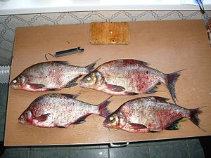Bream - Bream caught in the Volga River near Kashin, Russia.
