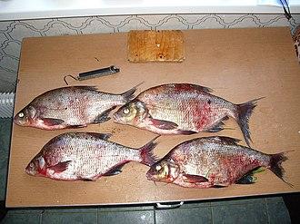 Bream - Bream caught in the Volga River near Kashin, Russia