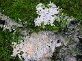 Brefeldia maxima plasmodium - amongst moss.jpg