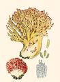 Bresadola - Clavaria botrytes Pers.png