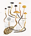 Bresadola - Collybia esculenta und conigena.png