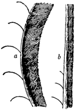 Britannica Lyre-bird Middle Feathers.png