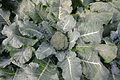 Broccoli 'Southern Comet'.jpg