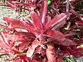 Bromeliaceae (Villa Hanbury, Italy) 1.jpg