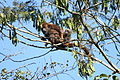Brown Howler Monkey female and infant.jpg