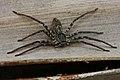 Brown Huntsman Spider (Heteropoda venatoria) (8573973131).jpg