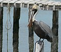Brown Pelican (Pelecanus occidentalis) - Champoton Campeche.jpg