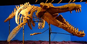Brygmophyseter - Restored skeleton