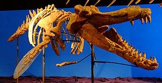 <i>Brygmophyseter</i> species of mammal (fossil)