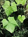 Bryonia dioica sl13.jpg