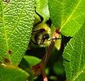 Bumblebee peek-a-boo.JPG