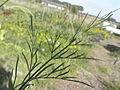Bunium bulbocastanum RH (10).jpg