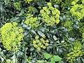 Bupleurum fruticosum by wallygrom - 002.jpg