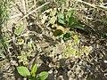 Bupleurum rotundifolium sl42.jpg