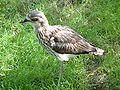 Burhinus grallarius.jpg