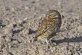 Burrowing Owl 2 of 4 in set.jpg