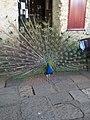 Burung Merak 1.jpg