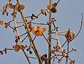 Butea monosperma young leaves W IMG 7645.jpg