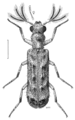 COLE Bostrichidae Euderia squamosa m.png