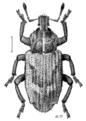 COLE Curculionidae Listroderes delaiguei 1.png