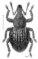 COLE Curculionidae Neosyagrius cordipennis.png