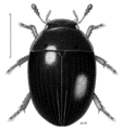 COLE Hydrophilidae Adolopus.png