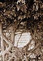 COLLECTIE TROPENMUSEUM Grafsteen van C.H. Macklot in Krawang overwoekerd door boomwortels TMnr 60016125.jpg