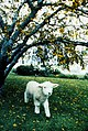 CSIRO ScienceImage 1452 A White Lamb on the Move.jpg