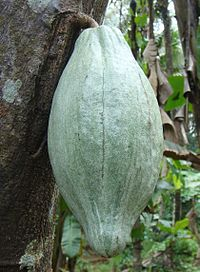 Cacao Fruit.JPG