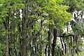 Caddo lake sp trees.jpg