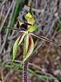 Caladenia toxochila (cropped).jpg