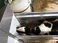 Calf in a box in Argentina.jpg