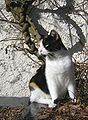 Calico cat named Iris-zenera-02.jpg