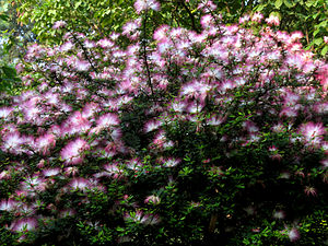 Calliandra brevipes - Bunch of Flowers seen in Hebbal lake park, Bengaluru. It emanates mild and pleasant smell