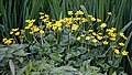 Caltha palustris 'marsh marigold' at Myddelton House, Enfield, London 01.jpg