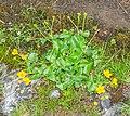 Caltha palustris in Avoriaz (1).jpg