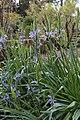 Camassia leichtlinii (Asparagaceae) (26796834794).jpg