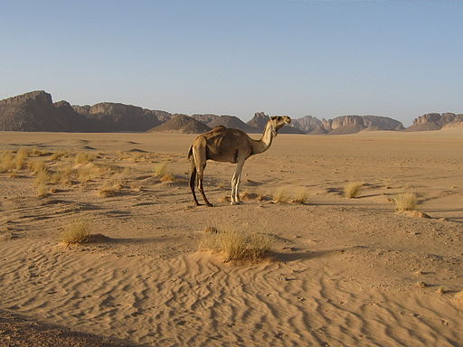 Camel In Tassili