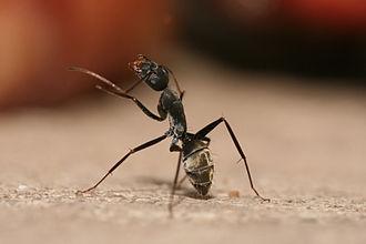 Carpenter ant - Carpenter ant cleaning antennae